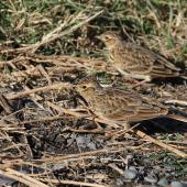 Eurasian skylark. Adult pair foraging among coastal grass. Waitangi, Napier, May 2015. Image © Adam Clarke by Adam Clarke