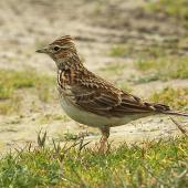 Eurasian skylark. Adult with crest raised. Wanganui, August 2011. Image © Ormond Torr by Ormond Torr
