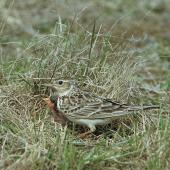 Eurasian skylark. Adult at nest containing chicks. Birdlings Flat, Lake Ellesmere, October 1958. Image © Department of Conservation (image ref: 10030618) by Peter Morrison, Department of Conservation Courtesy of Department of Conservation
