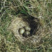 Eurasian skylark. Nest with 3 eggs. Birdlings Flat, Lake Ellesmere, October 1958. Image © Department of Conservation (image ref: 10030616) by Peter Morrison, Department of Conservation Courtesy of Department of Conservation