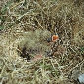 Eurasian skylark. Chicks in nest. Birdlings Flat, Lake Ellesmere, October 1957. Image © Department of Conservation (image ref: 10036482) by Peter Morrison, Department of Conservation Courtesy of Department of Conservation