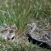 Eurasian skylark. Adult at nest with chicks. Birdlings Flat, Lake Ellesmere, September 1959. Image © Department of Conservation (image ref: 10030615) by Peter Morrison. Department of Conservation Courtesy of Department of Conservation