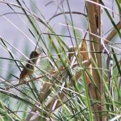 Australian reed warbler. First New Zealand record. St Anne's Lagoon, Cheviot, November 2004. Image © Nicholas Allen by Nicholas Allen nick_allen@xtra.co.nz