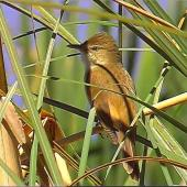Australian reed warbler. Adult male (first New Zealand occurrence). St Anne's Lagoon, Cheviot, November 2004. Image © Alan Shaw by Alan Shaw