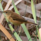 Australian reed warbler. Adult perched on reeds. Perth, April 2014. Image © Duncan Watson by Duncan Watson