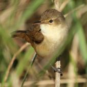 Australian reed warbler. Adult. Hasties Swamp, October 2013. Image © Imogen Warren by Imogen Warren