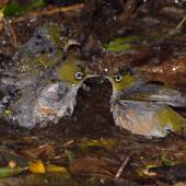 Silvereye. Three birds bathing. Wellington, December 2007. Image © Peter Reese by Peter Reese