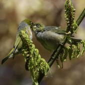 Silvereye. Adult (left) feeding fledgling. Upper Hutt, November 2014. Image © Toya Heatley by Toya Heatley  http://www.digitalpix.co.nz