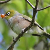 Silvereye. Adult eating a karamu berry. Karori Sanctuary / Zealandia, March 2013. Image © David Brooks by David Brooks