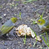 Silvereye. Bird at left using lowered wing position to communicate its dominance. Te Puke, July 2010. Image © Raewyn Adams by Raewyn Adams