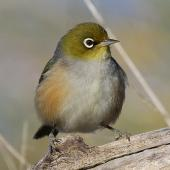 Silvereye. Adult. Wanganui, July 2010. Image © Ormond Torr by Ormond Torr