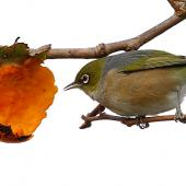 Silvereye. Adult feeding on persimmon. Wanganui, June 2012. Image © Ormond Torr by Ormond Torr