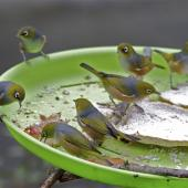 Silvereye. Flock feeding on bird table. St Albans,  Christchurch. Image © Steve Attwood by Steve Attwood  http://www.flickr.com/photos/stevex2/