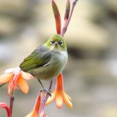 Silvereye. Front view of head of adult. Kerikeri, October 2012. Image © Thomas Musson by Thomas Musson tomandelaine@xtra.co.nz