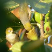 Silvereye. Adults feeding on a fig. Waikato, April 2011. Image © Koos Baars by Koos Baars