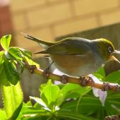 Silvereye. Adult. Whangaparaoa, June 2010. Image © Heather Whear by Heather Whear