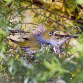 Silvereye. Adult sitting on nest containing three chicks. Sandy Bay, Whangarei, November 2011. Image © Malcolm Pullman by Malcolm Pullman aqualine@igrin.co.nz