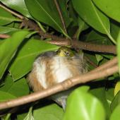 Silvereye. Roosting at night. Little Barrier Island, June 2013. Image © Alan Tennyson by Alan Tennyson