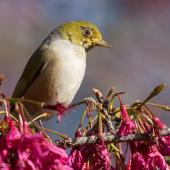 Silvereye. Presumed fledgling with unusually reduced eye-ring. Mount Eden, August 2015. Image © John and Melody Anderson, Wayfarer International Ltd by John and Melody Anderson Love our Birds® | www.wayfarerimages.co.nz