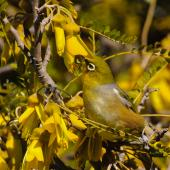 Silvereye. Adult feeding in kowhai. Lake Ohau, October 2012. Image © Albert Aanensen by Albert Aanensen
