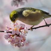 Silvereye. Adult taking nectar. Mission Heights, Auckland, August 2014. Image © Marie-Louise Myburgh by Marie-Louise Myburgh