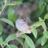 Silvereye. Fledgling. Miramar, February 2014. Image © Robert Hanbury-Sparrow by Robert Hanbury-Sparrow