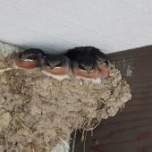 Welcome swallow. Four fully-grown chicks in nest. Inverurie, Invercargill, January 2019. Image © Philippa Simmons by Philippa Simmons