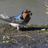 Welcome swallow. Collecting mud . Whitford Estuary area, Auckland, September 2018. Image © Marie-Louise Myburgh  by Marie-Louise Myburgh