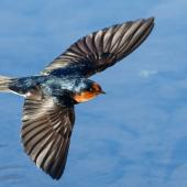 Welcome swallow. Adult in flight. Waikanae, June 2017. Image © Roger Smith by Roger Smith