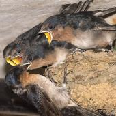 Welcome swallow. Adult bird feeding fledglings on the day two of the four left the nest. Oratia, January 2017. Image © John and Melody Anderson, Wayfarer International Ltd by John and Melody Anderson Love our Birds® | www.wayfarerimages.co.nz