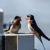 Welcome swallow. Adults interacting. Waiau River, Manapouri, November 2016. Image © Anja Köhler by Anja Köhler