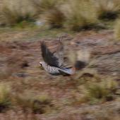 Chukor. Adult in flight. Mt John, Tekapo, January 2013. Image © Colin Miskelly by Colin Miskelly