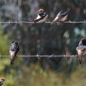 Tree martin. Adults (middle wire) with fairy martins. Wastewater Ponds, Alice Springs, Australia, September 2015. Image © Alan Tennyson by Alan Tennyson