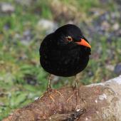 Eurasian blackbird. Adult male. Karori Sanctuary / Zealandia, August 2011. Image © Bart Ellenbroek by Bart Ellenbroek
