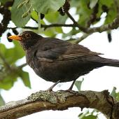 Eurasian blackbird. Immature male. Wanganui, December 2015. Image © Ormond Torr by Ormond Torr
