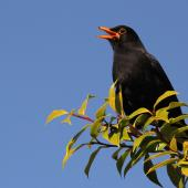 Eurasian blackbird. Adult male singing. Cornwall Park, Hastings, November 2012. Image © Adam Clarke by Adam Clarke