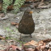 Eurasian blackbird. Front view of adult female. Christchurch, September 2012. Image © James Mortimer by James Mortimer