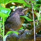 Eurasian blackbird. Recently fledged chick. Whanganui, November 2011. Image © Peter Frost by Peter Frost