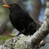 Eurasian blackbird. Adult male in tree. Auckland, November 2010. Image © Philip Griffin by Philip Griffin Philip Griffin © 2011