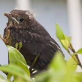 Eurasian blackbird. Fledgling. Auckland, December 2010. Image © Philip Griffin by Philip Griffin Philip Griffin © 2010