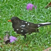 Eurasian blackbird. Partially leucistic male. Lower Hutt, January 2012. Image © John Flux by John Flux