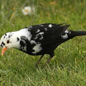 Eurasian blackbird. Partially leucistic adult male. Wanganui, September 2012. Image © Ormond Torr by Ormond Torr