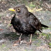 Eurasian blackbird. Immature male. Havelock North, September 2009. Image © Dick Porter by Dick Porter