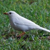 Eurasian blackbird. Leucistic adult male. Porirua East, April 2015. Image © Duncan Watson by Duncan Watson