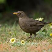 Eurasian blackbird. Female among cape weed flowers on mown lawn. Christchurch, Canterbury, October 2008. Image © Neil Fitzgerald by Neil Fitzgerald Neil Fitzgerald: www.neilfitzgeraldphoto.co.nz