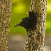 Eurasian blackbird. Adult male perched on trunk. Auckland. Image © Eugene Polkan by Eugene Polkan
