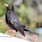 Eurasian blackbird. Adult male. Havelock North, September 2009. Image © Dick Porter by Dick Porter