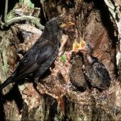 Eurasian blackbird. Adult female at nest containing large chicks. . Image © Department of Conservation (image ref: 10037652) by Dick Veitch Courtesy of Department of Conservation
