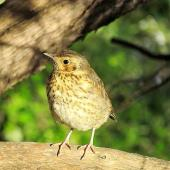 Song thrush. Juvenile. Kerikeri, October 2012. Image © Thomas Musson by Thomas Musson tomandelaine@xtra.co.nz