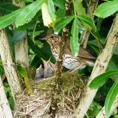 Song thrush. Adult at nest with four young. Waikato, November 2011. Image © Joke Baars by Joke Baars